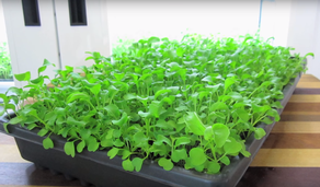Tips for Growing some Popular Herbs