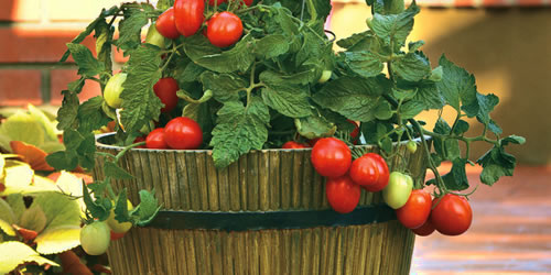 How To Grow Tomatoes Successfully in Containers
