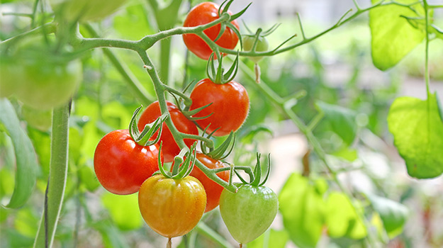 How to Fertilize Tomatoes
