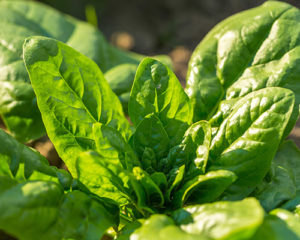 Six Vegetables To Plant Late Summer