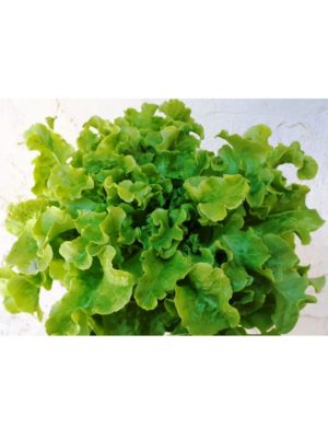 Organic Green-Salad-Bowl-Leaf Lettuce Seeds