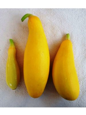 Organic Success-PMR Summer Squash Seeds