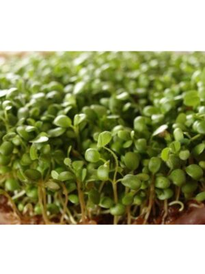 Organic Red-Clover Microgreen Seeds