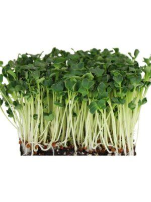 Organic Daikon-Radish Microgreen Seeds