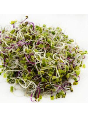 Organic Daikon-Radish Sprouting Seeds