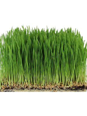 Microgreen Seeds for Growing Wheatgrass