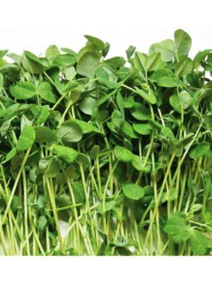 Dwarf-Grey Sugar-Peas Microgreen Seeds