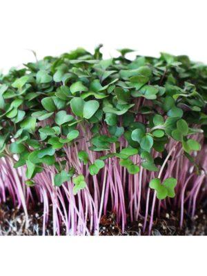Organic Purple-Kohlrabi Microgreen Seeds
