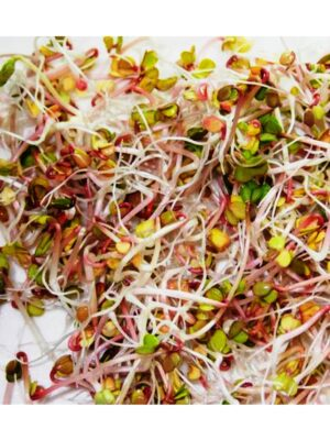 Organic Red-Radish Sprouting Seeds